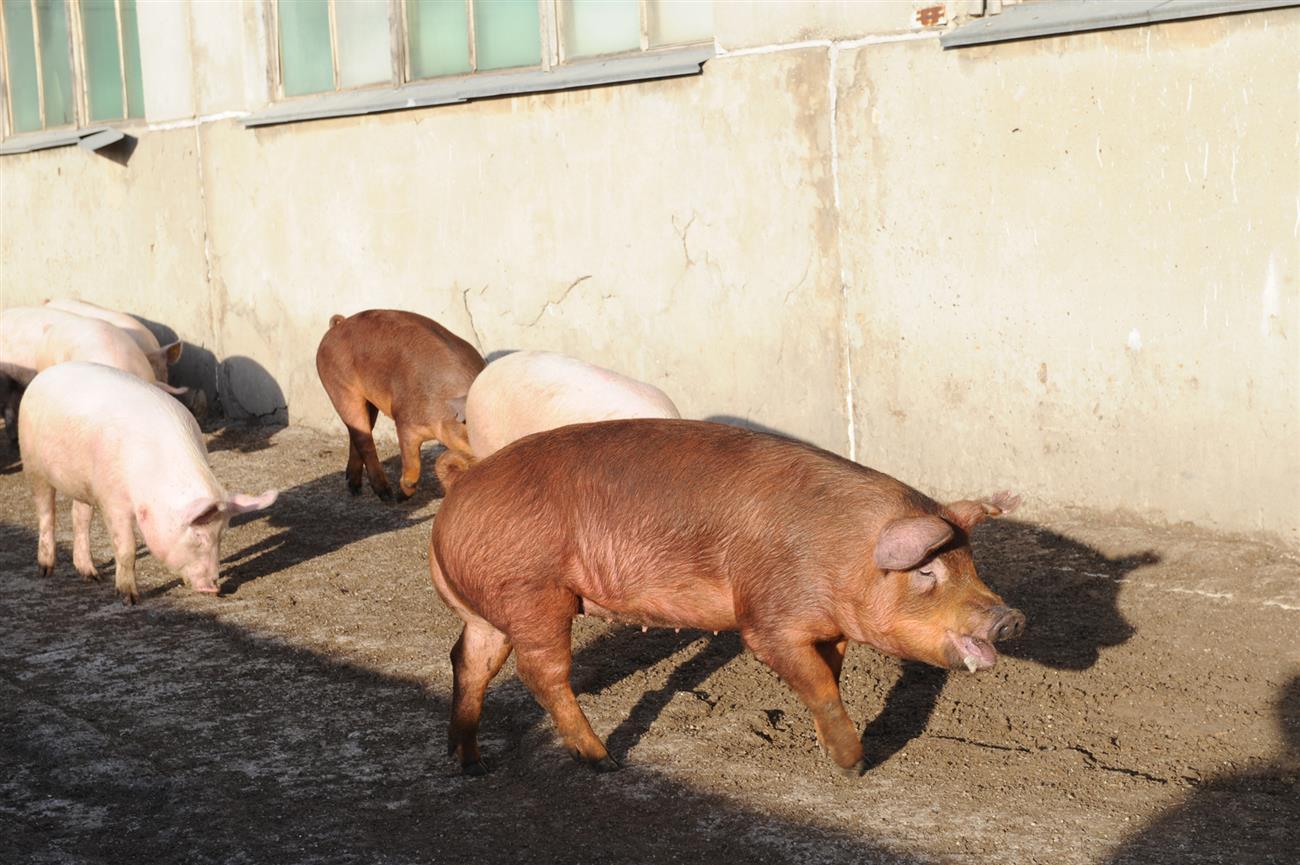 ВХворостянском районе области снят карантин поафриканской чуме свиней