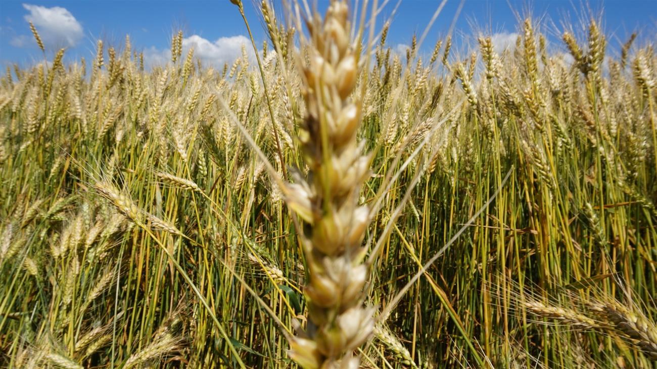 Аграрии Северного Казахстана намолотили неменее 5,2 млн. тонн зерна