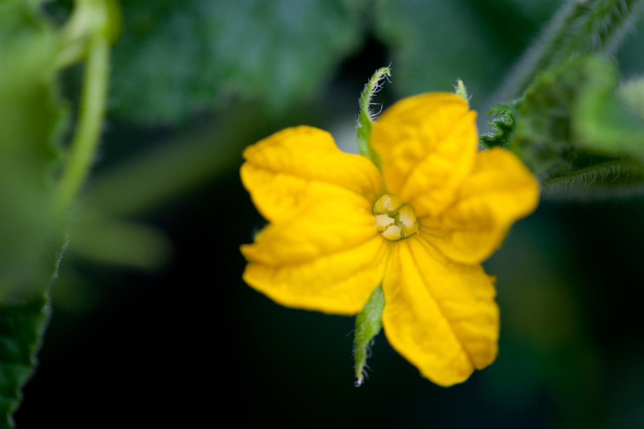 Женский и мужской цветок дыни фото