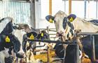 """Проблемы вмолочном животноводстве сдерживают развитие Племзавода """"Кряж"""""""