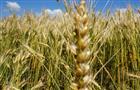 """Агрохолдинг """"Зерно Жизни"""" собрал больше 200 тысяч тонн урожая"""