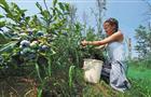 Выращиваем на своем участке садовую голубику
