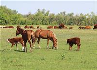 «Эльмир» развивает мясное животноводство по европейским стандартам