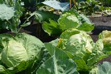 Секреты здоровой капустной рассады и ее пересадки в грунт