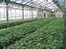 Выращивание безвирусных растений картофеля сорта Самарский в теплице
