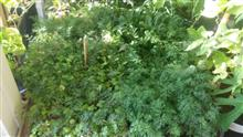 Выращиваем сочные и душистые травы на подоконнике