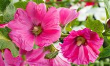 Выбираем однолетние цветы для дачного участка
