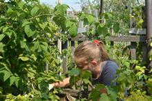 Нехитрые правила ухода за малиновыми кустами