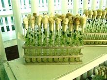 Безвирусные микро-растения сорта картофеля Жигулевский