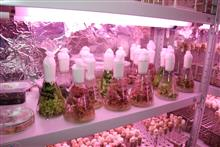 Безвирусные растения декоративных культур in vitro (в стекле)