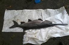 В Самарке выловлена очередная рыба-монстр