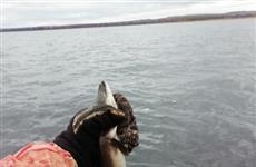 Тольяттинские рыбаки поймали в Волге угря