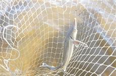 Работники сызранского рыбокомбината попались на незаконной добыче стерляди