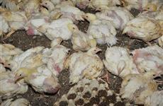 В Самарской области ликвидируют очаг птичьего гриппа