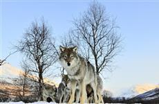 """Рыбаки сообщают о появлении волков в окрестностях """"Самарской Луки"""""""