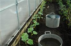 Выращиваем здоровую рассаду огурцов