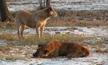 Под Тольятти дикие собаки загрызли 30 косуль и нападали на людей