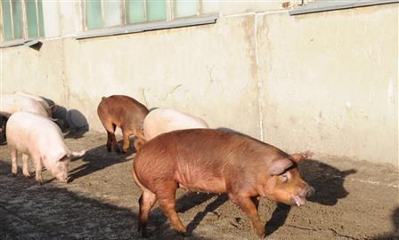 Снят карантин по африканской чуме свиней в Хворостянском районе