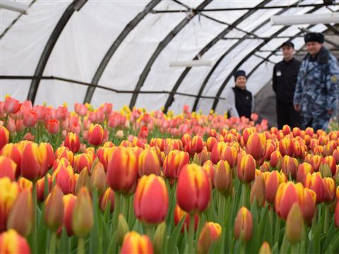 В самарские магазины поступило 15 тыс. тюльпанов, выращенных заключенными
