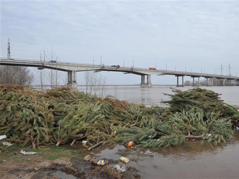 Под Южным мостом обнаружено больше тысячи выброшенных новогодних елок