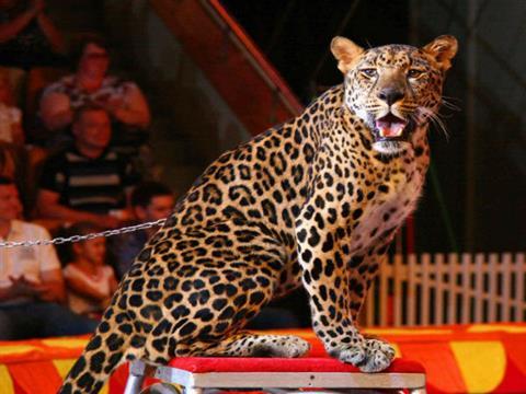 Цирковой леопард, напавший на детей в Тольятти, может вернуться на арену (видео)
