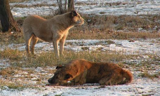 Под Тольятти одичавшие собаки загрызли 30 косуль и нападали на людей