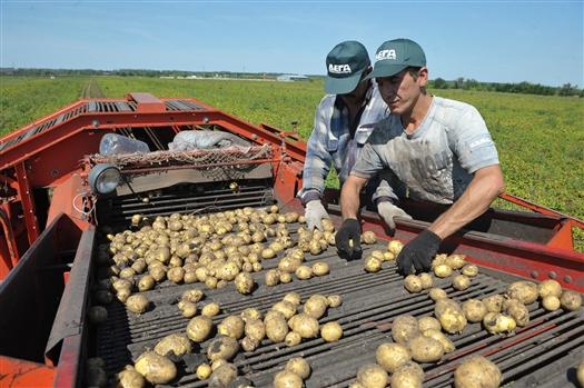 В Самарской области в 2016 году было собрано 416,5 тыс. тонн картофеля