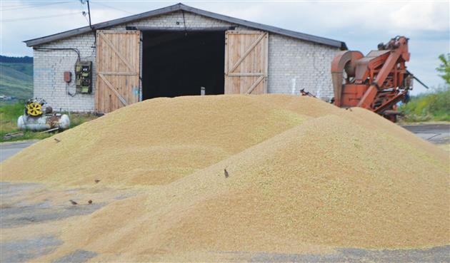 Урожайность хозяйства постоянно растет. При этом качество зерна неизменно высокое, что иобеспечивает ему спрос нарынке семян