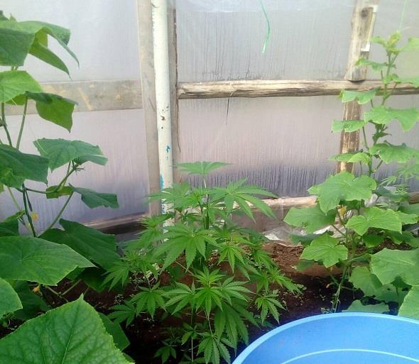 Выращивание конопли от и до конопля самые большие сорта