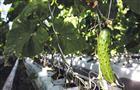 """СХАО """"Овощевод"""" выращивает вТольятти экологически чистые огурцы, помидоры ибаклажаны"""