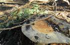 В Усть-Кинельском снова начали вырубать деревья