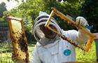 Башкирия лидирует в ПФО по пчеловодству