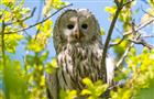 В Самарской области реализуется крупнейший в России проект по восстановлению численности хищных птиц