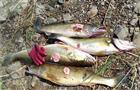 Больную рыбу, выловленную под Самарой, проверят на фибросаркому в Москве (видео)