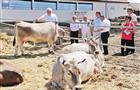 Губернские животноводы сокращают объем племенной работы
