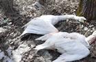 В Самарской области браконьеры застрелили лебедей
