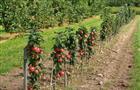 В 2016 году в регионе планируется заложить 200 га интенсивных садов