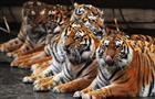 """В Самарском цирке стартовали гастроли шоу """"Королевские тигры Суматры"""""""