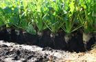 Минсельхоз России отметил высокую урожайность сахарной свеклы в Пензенской области