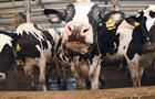 Немецкий генофонд помогает развивать молочное скотоводство в других странах