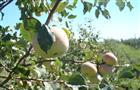 """Хозяйство """"Сургутское"""" намерено накормить губернию вкусными яблоками"""