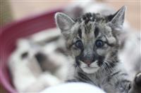 1 июня посетители Самарского зоопарка смогут выбрать имя детеныша пумы