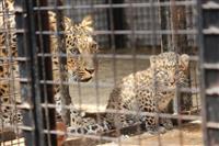 В самарском зоопарке родились леопарды вымирающего вида