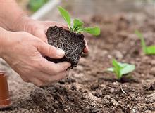 Как самому вырастить здоровую рассаду