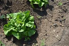 Выращиваем салаты на участке