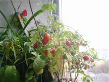 Выращиваем томаты на балконе