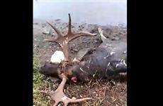 """В """"Самарской Луке"""" нашли убитого лося"""