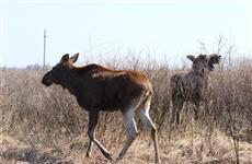 В питомнике с Сафари-парком на новую территорию перевели лосей