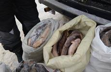 В Саратовской области задержаны трое браконьеров, добывших налима и стерляди на 200 тыс. рублей