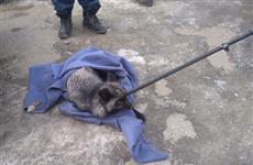 В Тольятти на улице поймали потерявшуюся чернобурую лису